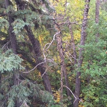 MacKinnon Ravine tree